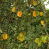 Starfruit, Garden, Mauna Loa Macadamia Nut Factory Tour