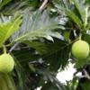 Breadfruit, Garden, Mauna Loa Macadamia Nut Factory Tour