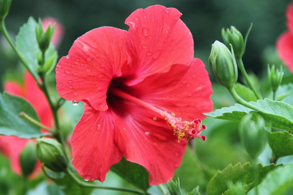 90 Mauna Loa Factory Tour. Nature Walk. Hawaiian hibiscus