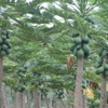 Papaya, Garden, Mauna Loa Macadamia Nut Factory Tour