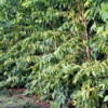 Coffee Trees,  Greenwell Farms Coffee Tours