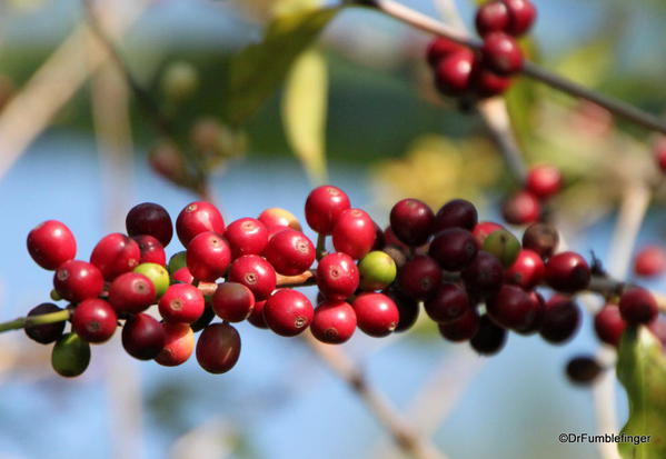 Cherries on Coffee Trees, Greenwell Farms Coffee Tours