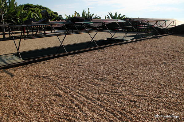 Coffee beans drying in the sun, Greenwell Farms Coffee Tours