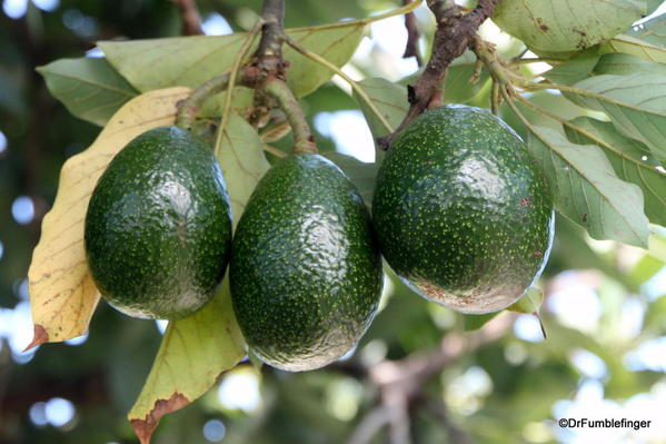 Avacados, , Greenwell Farms Coffee Tours