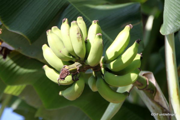 Young bunch of bananas, Greenwell Farms Coffee Tours