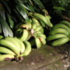Bananas, Greenwell Farms Coffee Tours