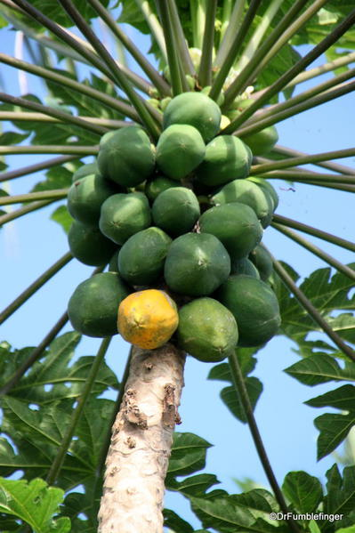 Papayas, Greenwell Farms Coffee Tours