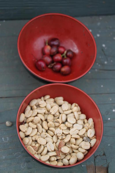 Coffee cherries (top) and beans (bottom)