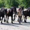 Bar U Ranch Cowboy putting away 4 huge Percheron horses