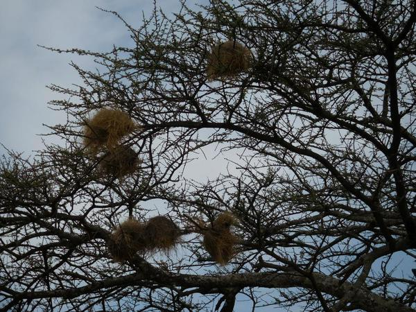 Abiata National Park. Weaver nests in the trees