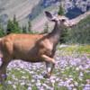 Deer at Logan Pass: Glacier National Park, Montana
