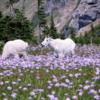 Mountain Goats at Logan Pass: Glacier National Park, Montana