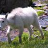 Mountain Goat at Logan Pass: Glacier National Park, Montana
