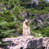 Groundhog at Logan Pass: Glacier National Park, Montana