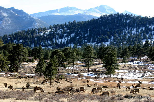 Large herd of elk, Rocky Mountain National Park