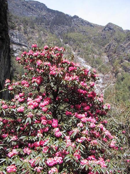 Rhododendron tree, near Namche Bazaar