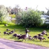 Canada Geese, Brooks
