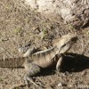 Lizard in the Park