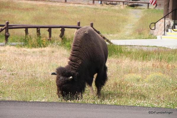 Bison, Old Faithful Inn, Yellowstone National Park