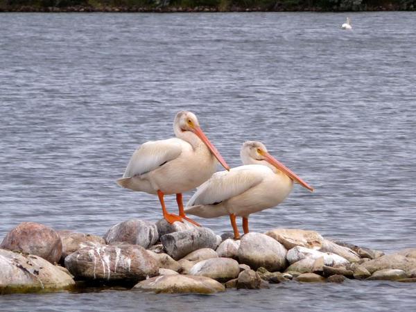 Young Pelicans, Brooks, Alberta