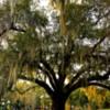 Live Oak Tree: Live Oak Tree