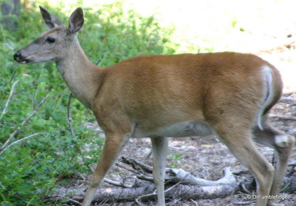 Glacier National Park -- Deer