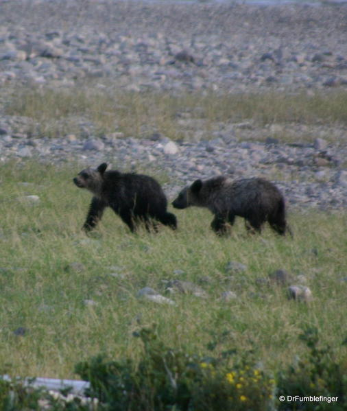 Glacier National Park -- Twin Grizzly cubs