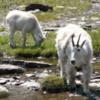 Glacier National Park -- mountain goats