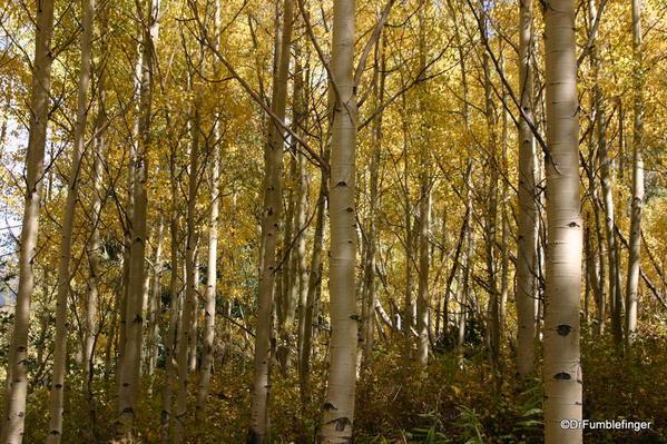 Aspen trees at Maroon Bells, Colorado