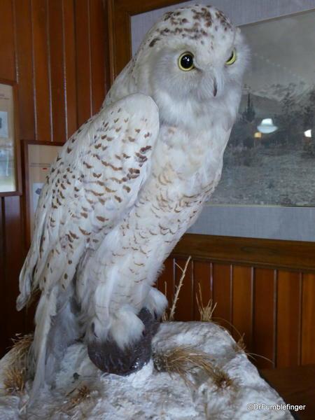 Banff Park Museum. Snowy Owl