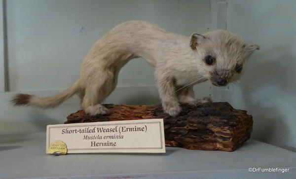 Banff Park Museum, Short-Tailed Weasel