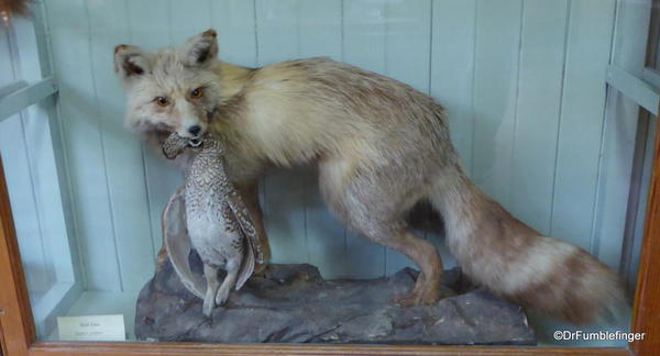 Banff Park Museum, Upstairs (red fox)