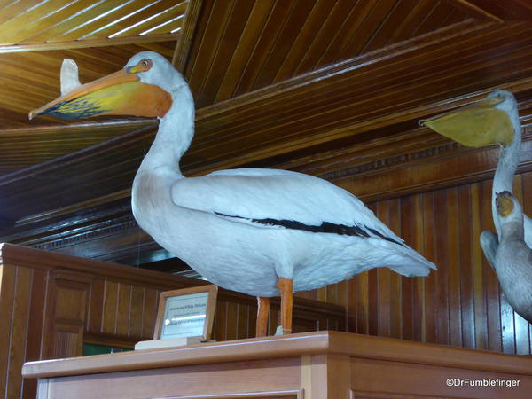 Banff Park Museum, Upstairs (pelican)