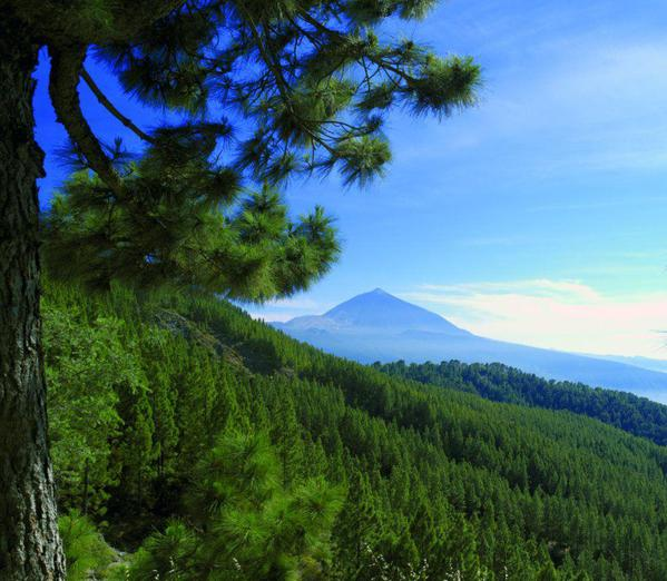 tenerife-pine-tree-forest