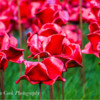 Poppies: Weeping Window at Woodhorn