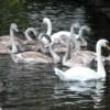 St. Stephen's Green, Dublin.  Swans