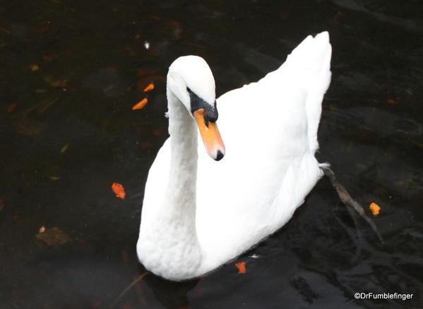 St. Stephen's Green, Dublin. Swan