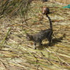 Cat on prowl for rodents, View from watchtower, Uros Island, Lake Titicaca.  Courtesy Quinet and Wikimedia - Copy