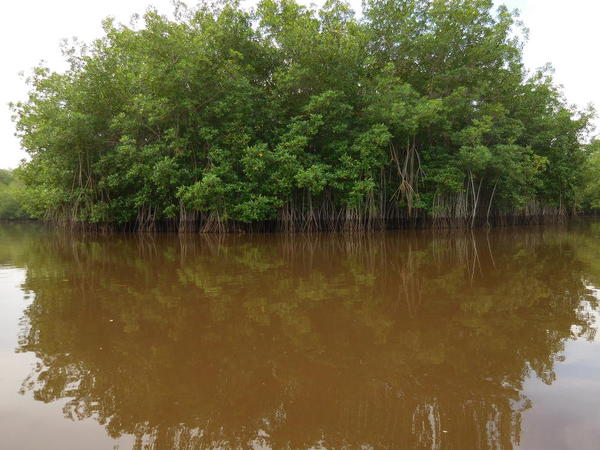 05 2015-11 Guatemala Mangroves 40