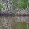 06 2015-11 Guatemala Mangroves 13: Reflected trees in the mangroves