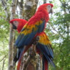 08 2015-11 Guatemala Macau 01: Macaw in the forest