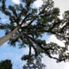 11 2015-11 Guatemala Tikal 007: Ceiba tree
