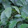 65 2015-11 Guatemala Antigua Philadelphia Coffee Plantation 04: Green coffee beans