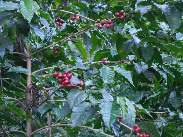 66 2015-11 Guatemala Antigua Philadelphia Coffee Plantation 06