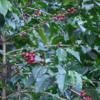 66 2015-11 Guatemala Antigua Philadelphia Coffee Plantation 06: Ripe coffee beans