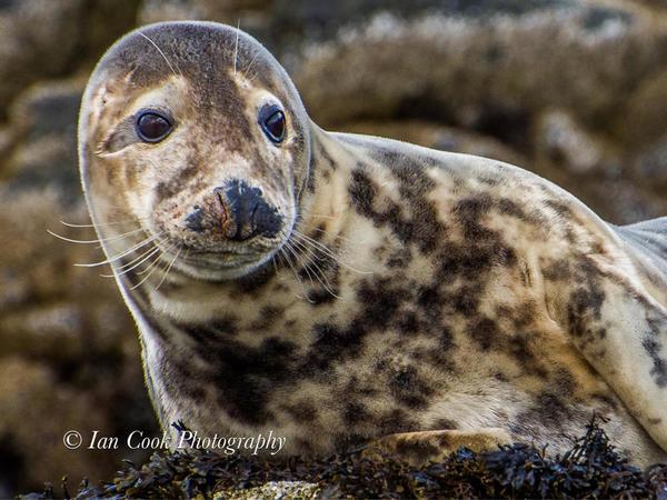 Grey seals from Lindisfarne National Nature Reserve, U.K.