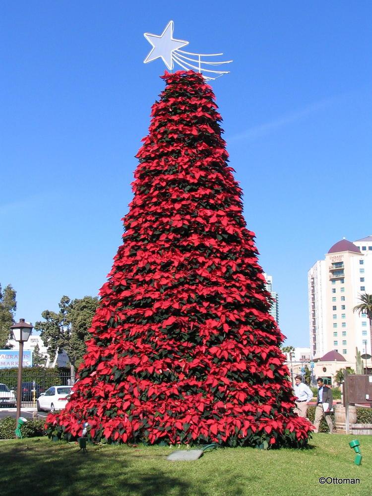 Pointsetta Christmas Tree.Dec 24 2015 Poinsettia Christmas Tree San Diego California