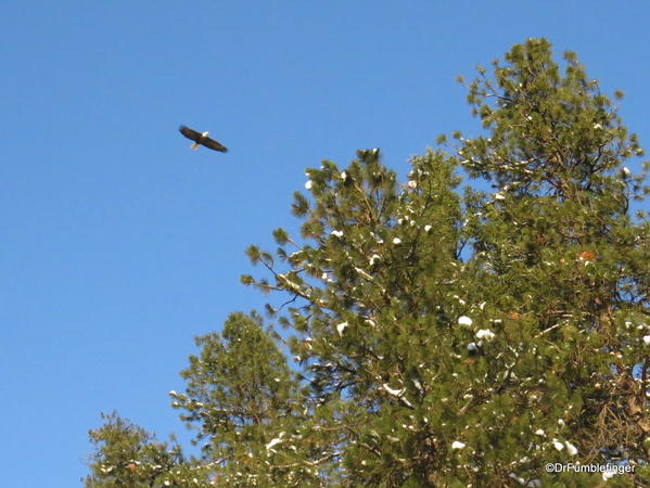 Bald eagle flying over Lake Couer d'Alene