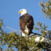 Bald eagle, Lake Couer d'Alene