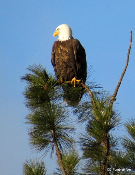 Bald eagle, Lake Couer d'Alene